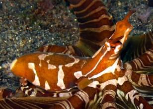 Wunderpus vs Mimic Octopus